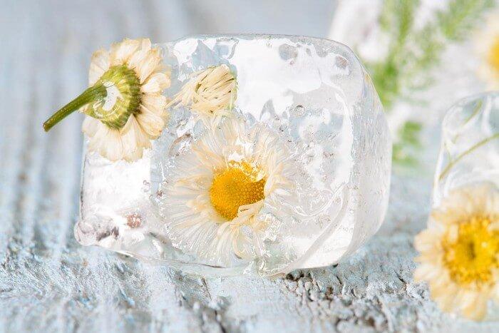 Klare Eiswürfel mit Blumen