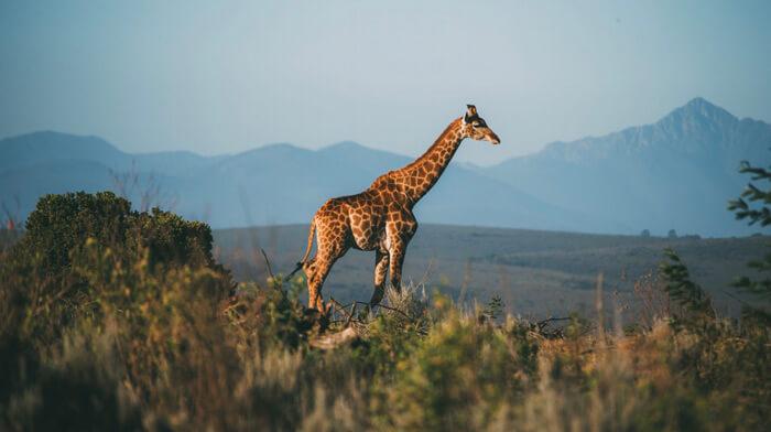 Flitterwochen Safari