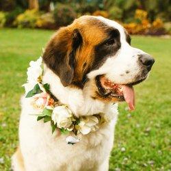 Halsband Hund Hochzeit