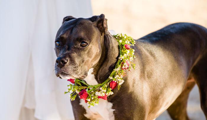 Hund Hochzeit Halsband