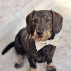 Hundehalsband zur Hochzeit